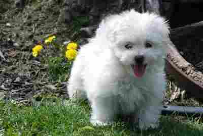Maltese Puppies For Free Adoption  princegeorge